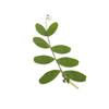 Pressed Botanical - Pisum Leaf