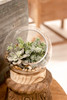 Glass Terrarium with Wood Base with succulents