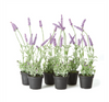 """French Lavender 13"""" Drop-In"""