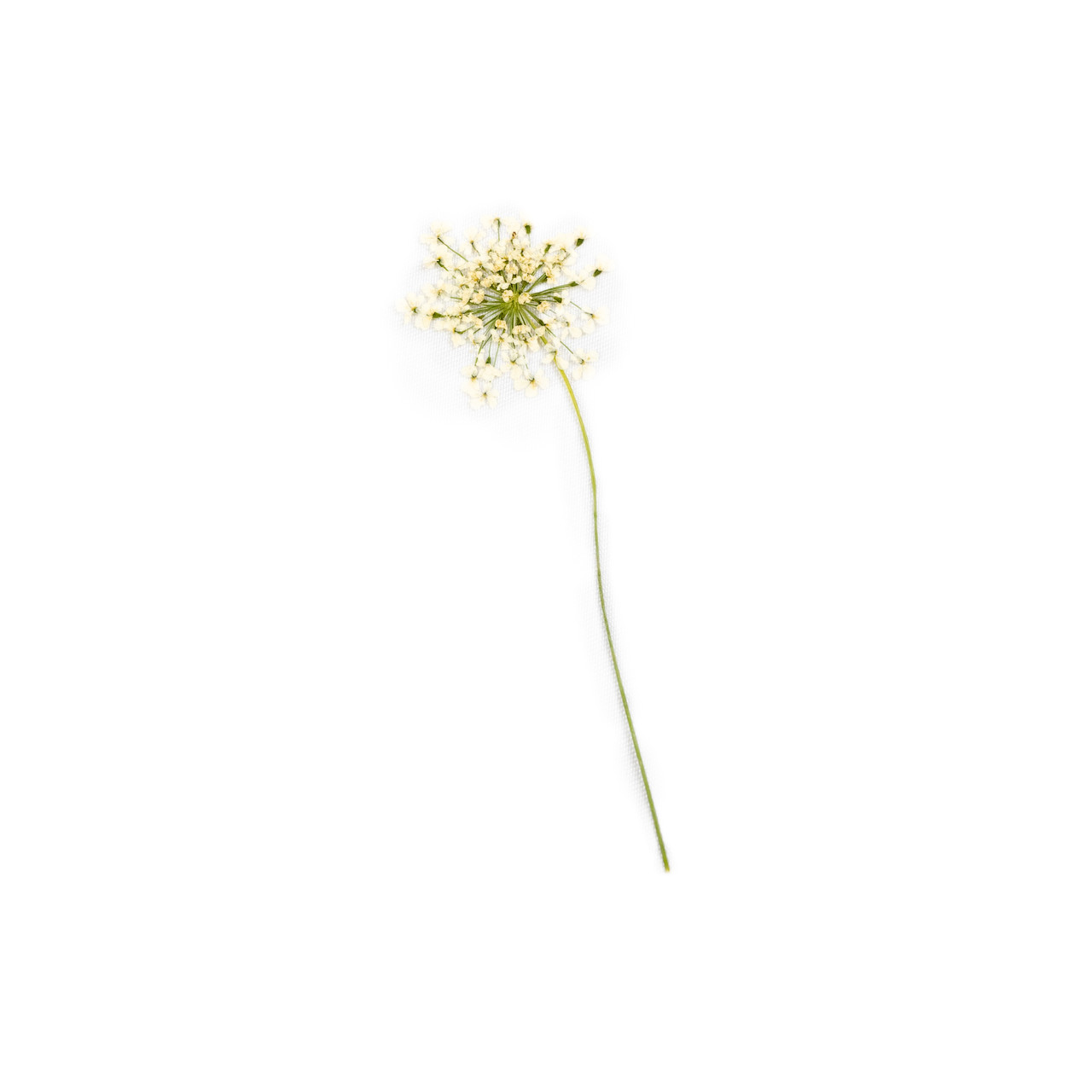 Pressed Botanical - White Lace Flower