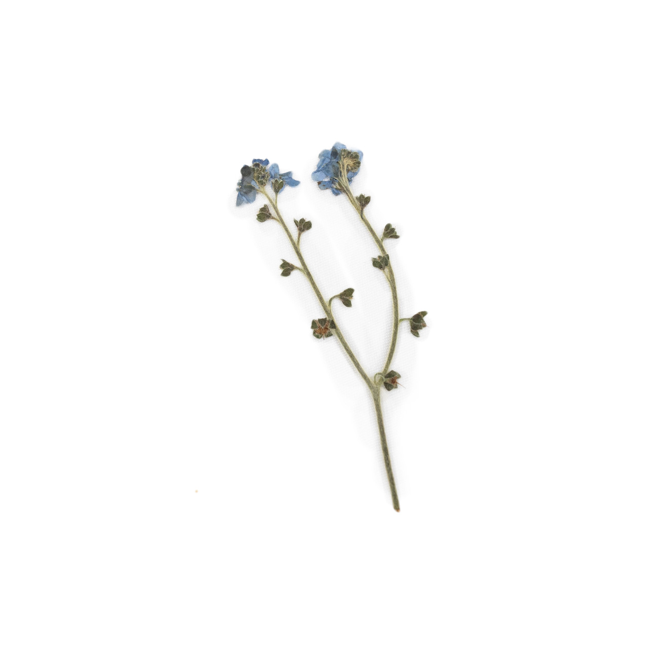 Pressed Botanical - Forget-Me-Not
