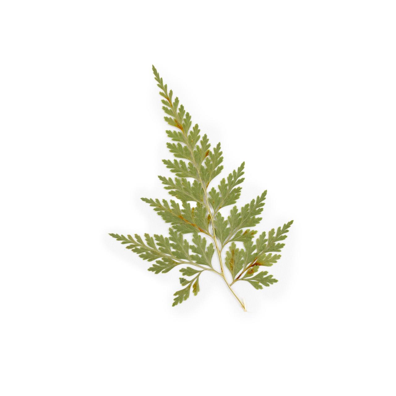 Pressed Botanical - Fern