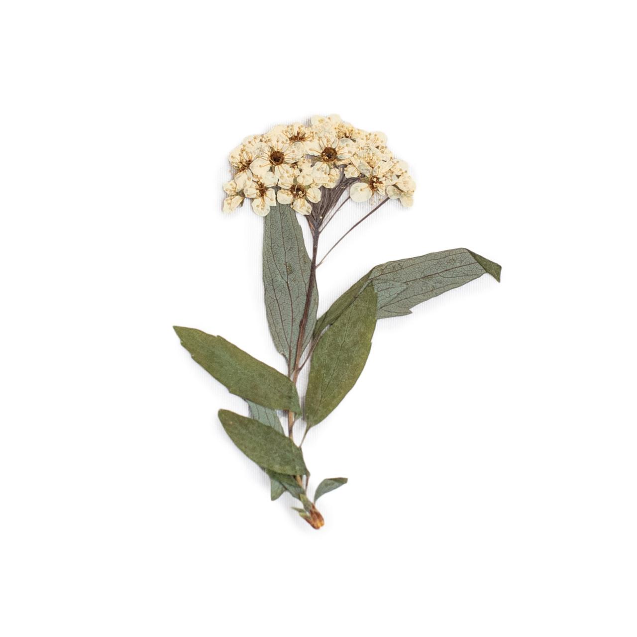 White Meadowsweets