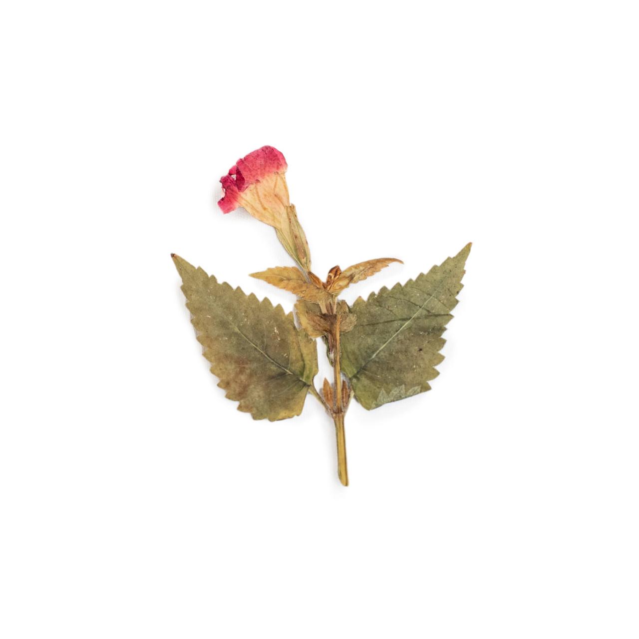 Red Wishbone