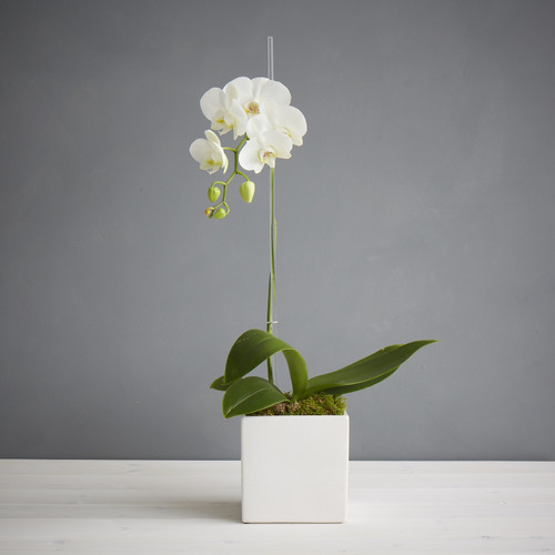Single Deluxe Orchid