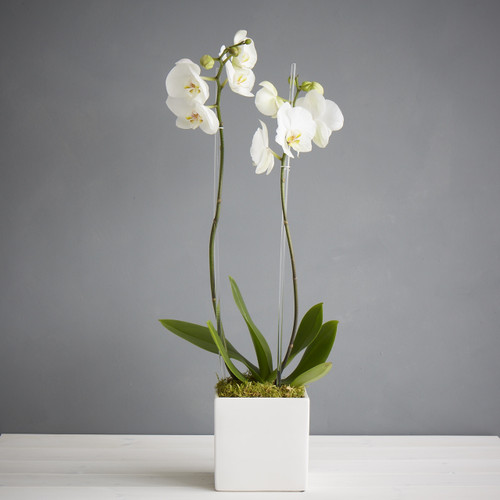 Double Deluxe Orchid