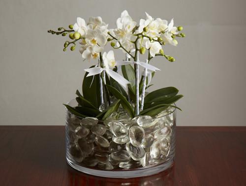 Mini Orchid Plants