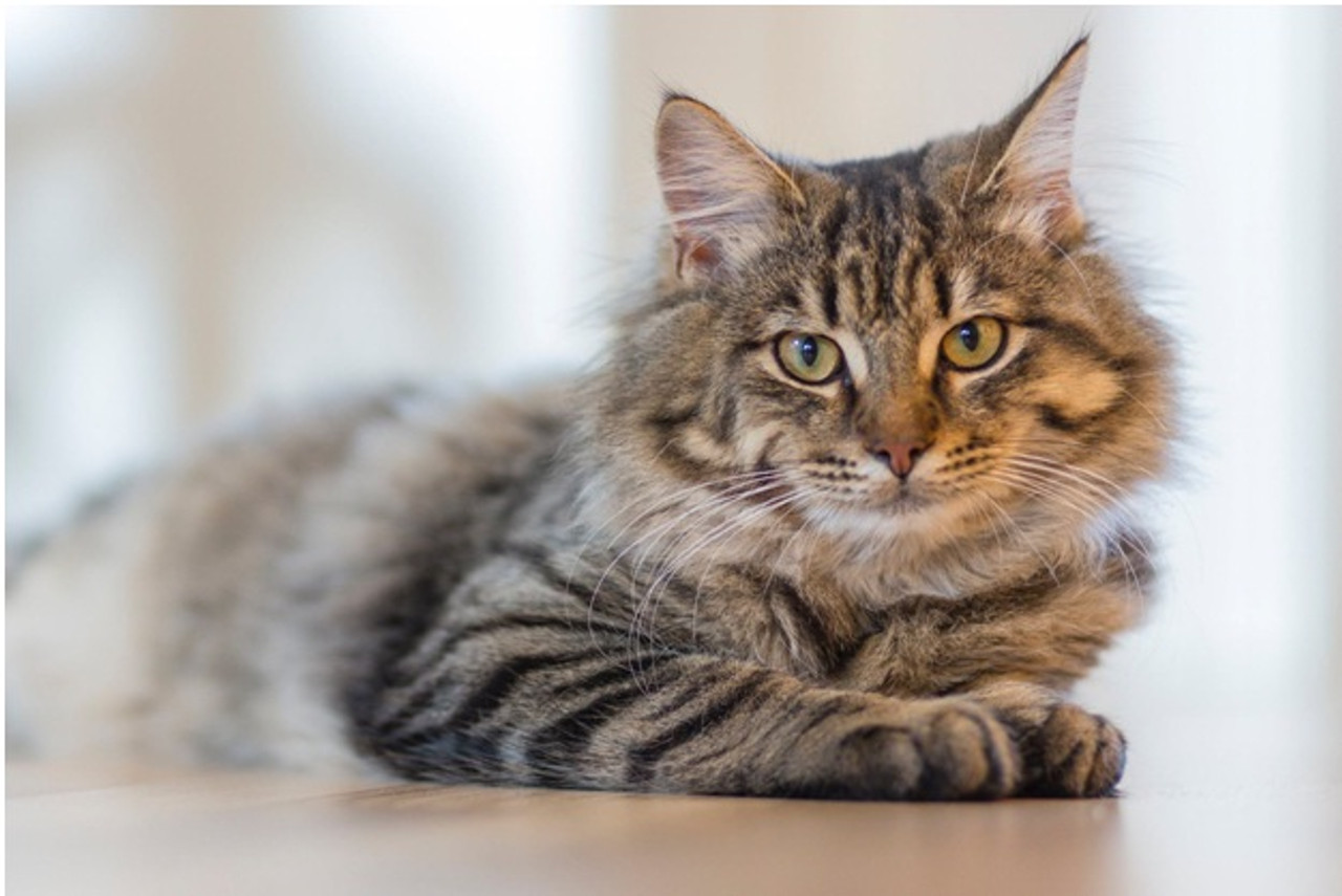 What You Need to Know About Natural Prebiotics For Cats