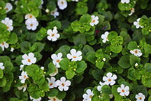 bacopa-website.jpg