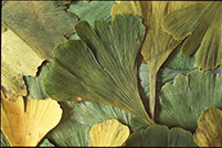 ginkgo-website.jpg