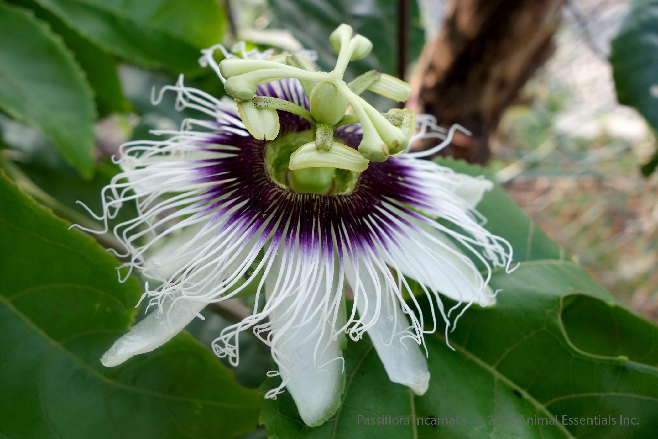 passion-flower.300dpi.jpg