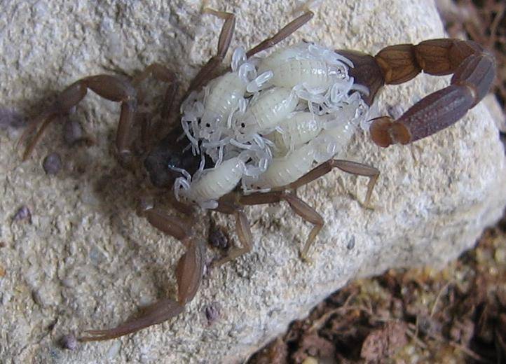 mother-scorpion-with-babies-on-back.jpg