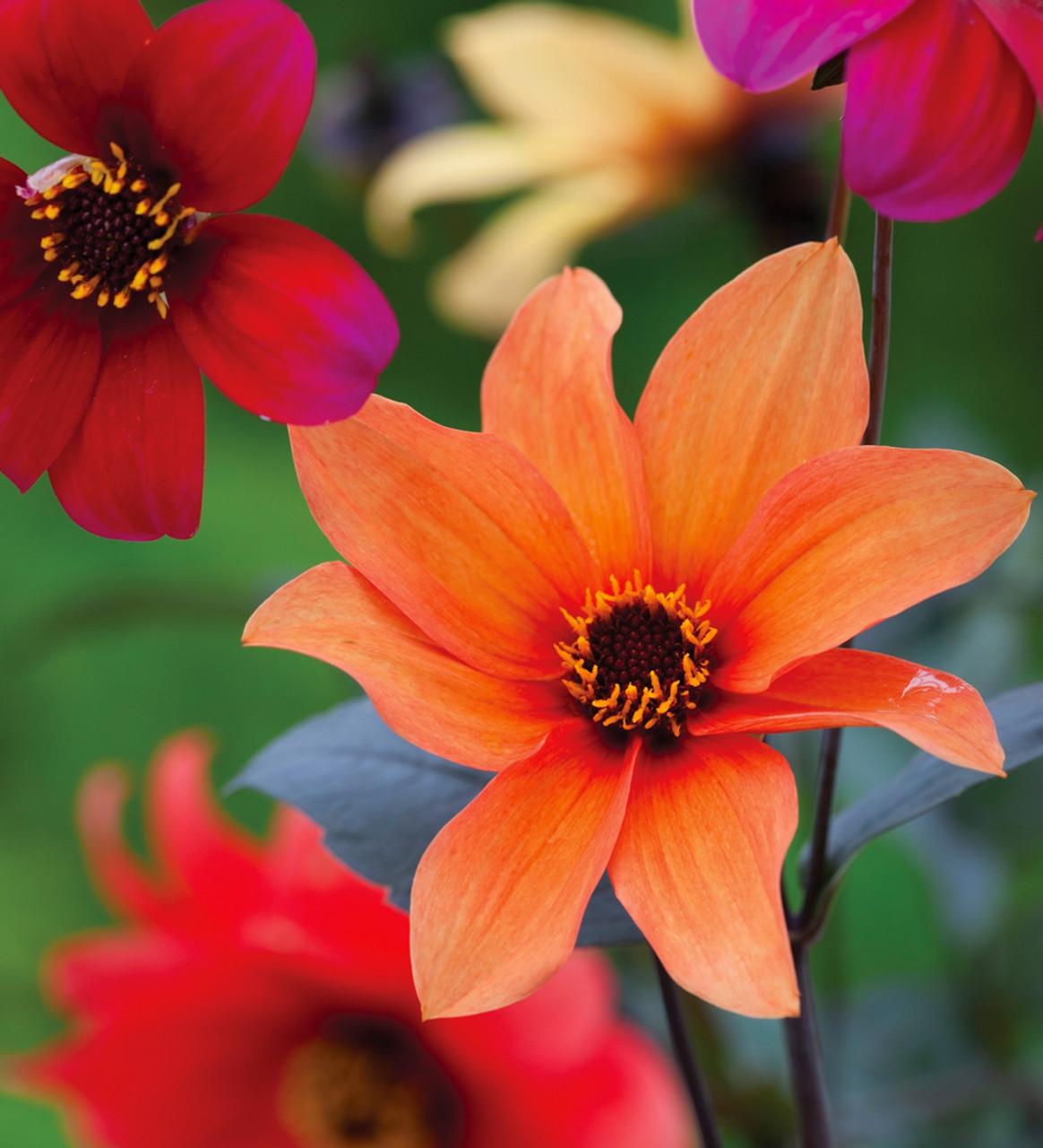 Buy Paint Box Cut Flower Collection Sarah Raven