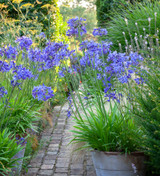 how to care for agapanthus in pots