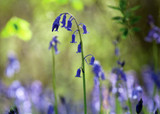 how to plant, grow & care for bluebells