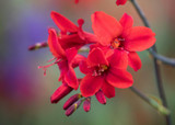 how to plant, grow & care for crocosmia