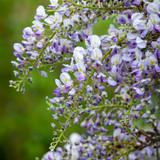 how to prune wisteria