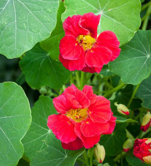 Nasturtium 'Cherry Rose Jewel' (Tropaeolum majus)