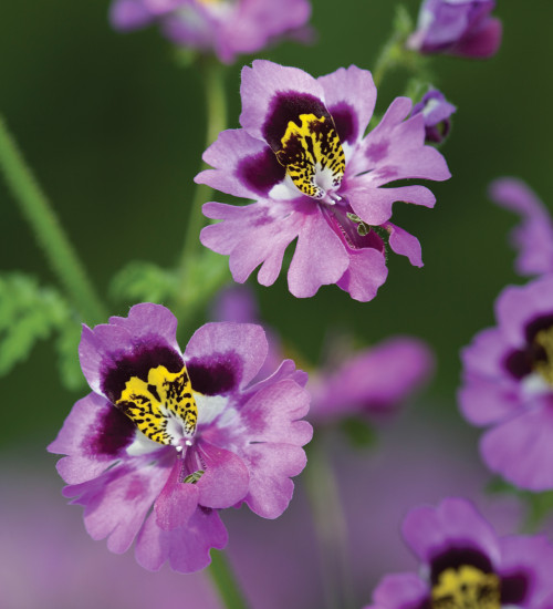 Schizanthus x wisetonensis 'Dr. Badger's Hybrids' Mix (Butterfly Plant)