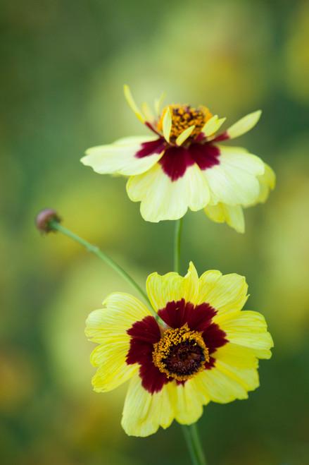 Coreopsis x hybrida 'Incredible' Tall Mix