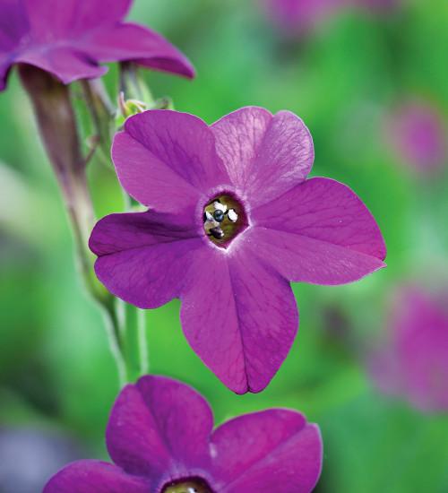 Nicotiana x sanderae 'Perfume Deep Purple' F1