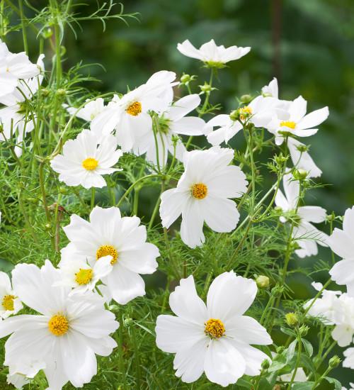 Cosmos bipinnatus 'Dwarf Sensation White'