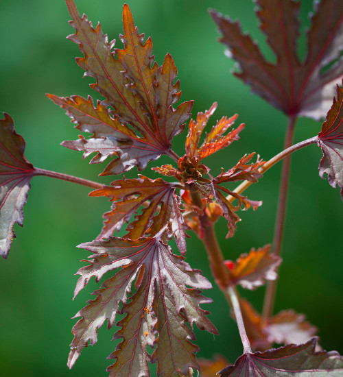 Hibiscus acetosella 'Mahogany Splendor'