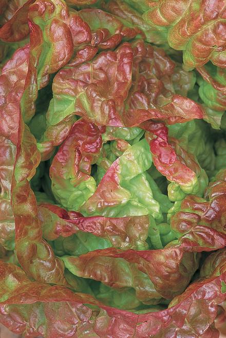 Lettuce 'Merveille de Quatre Saisons'
