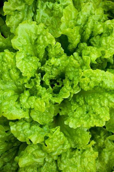 Lettuce 'Black Seeded Simpson'