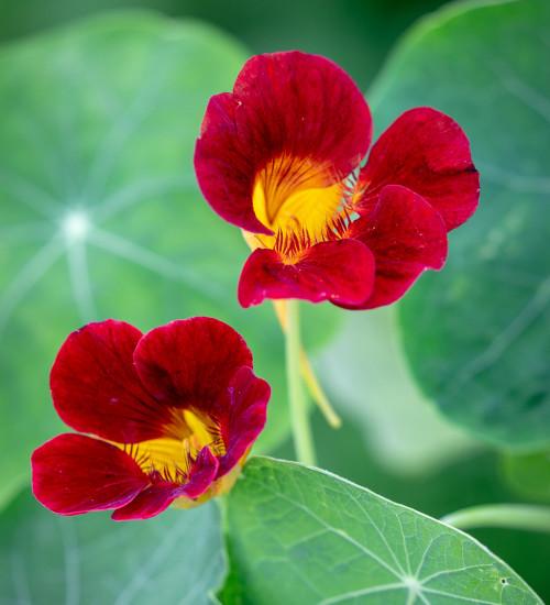 Nasturtium 'Black Velvet' (Tropaeolum minus)