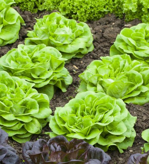 Lettuce 'Descartes'