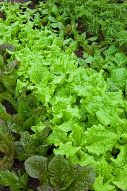 Lettuce Best Winter Mix
