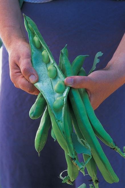 Broad Bean 'Superaguadulce'