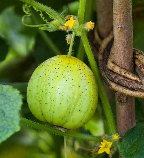 Cucumber 'Crystal Lemon'
