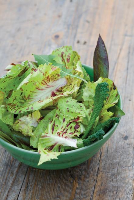 Chicory 'Variegato di Castelfranco'