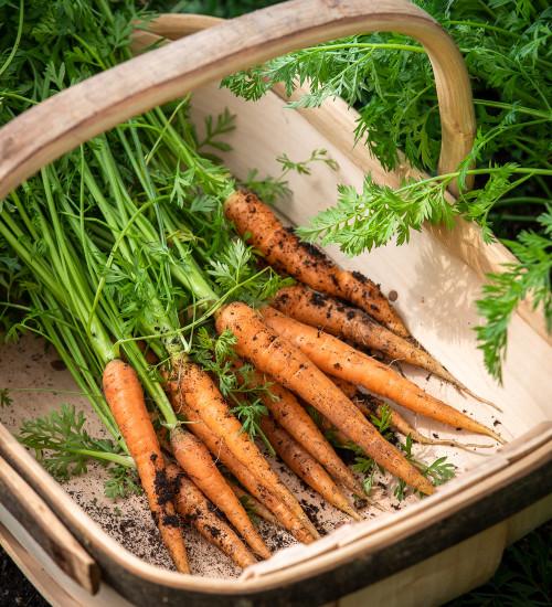 Carrot 'Nantes 5'