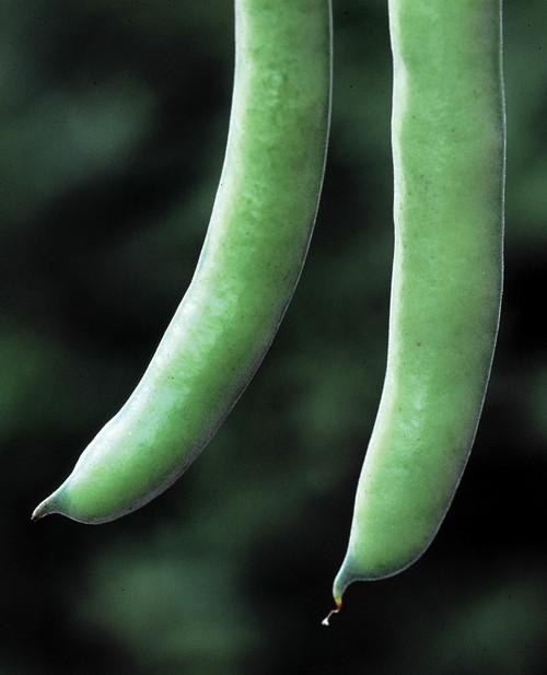 Broad Bean 'Stereo'