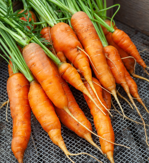 Carrot 'Flyaway' F1