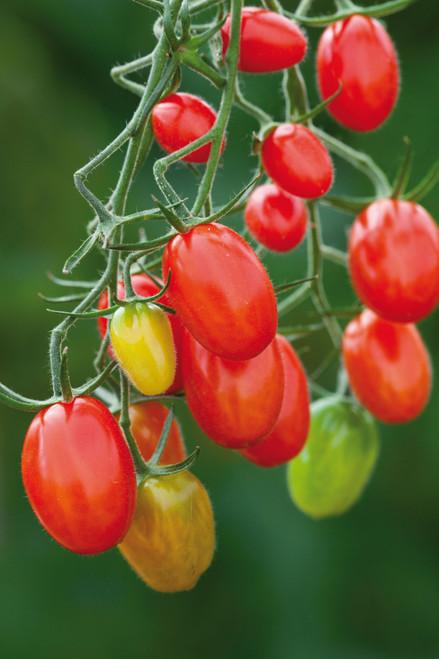 Tomato 'Sugar Plum' F1