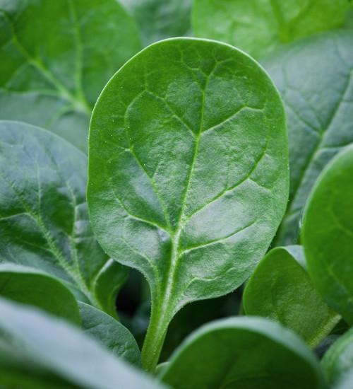 Spinach 'Toscane'