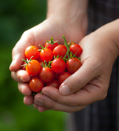 Tomato 'Micro Cherry'
