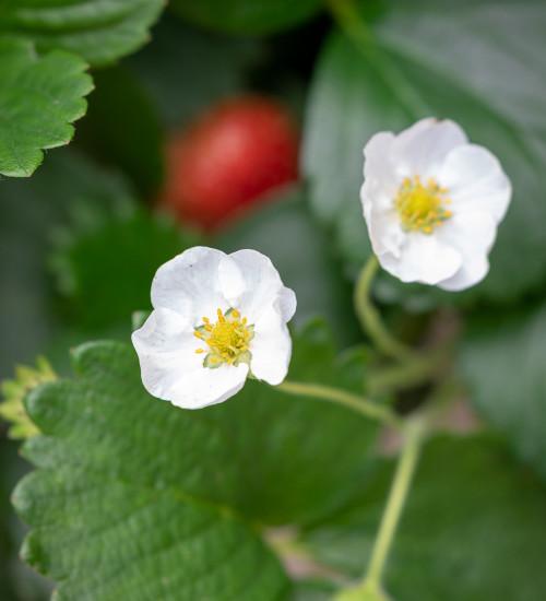 Strawberry 'Montana'