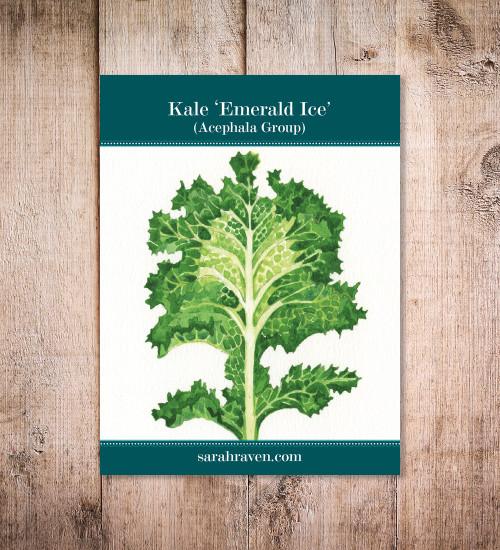 Kale 'Emerald Ice' (Acephala Group)