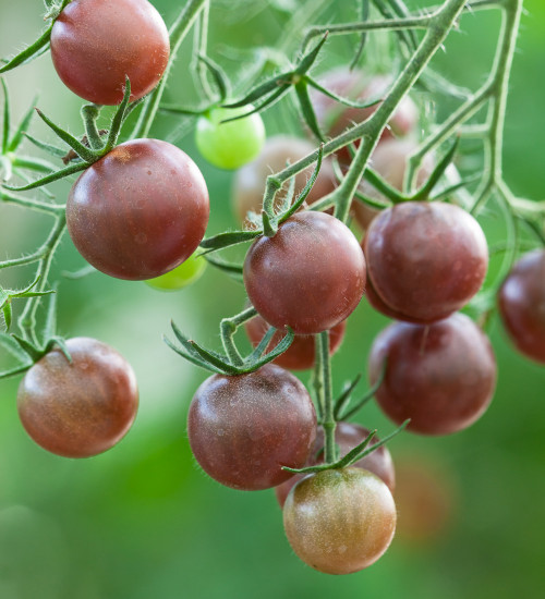 Tomato 'Chocolate Cherry'