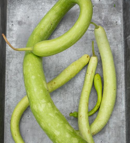 Squash 'Serpente di Sicilia' (Lagenaria vulgaris aka Lagenaria longissima)