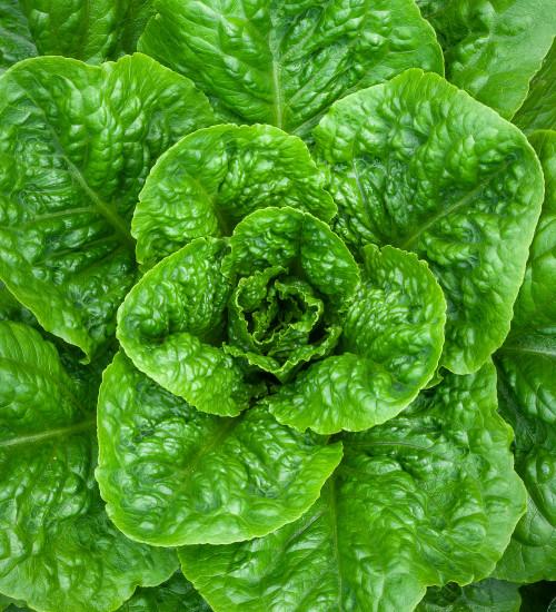 Lettuce 'Parris Island Cos'