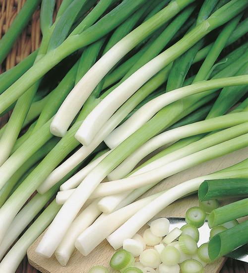 Spring Onion 'Ishikura'