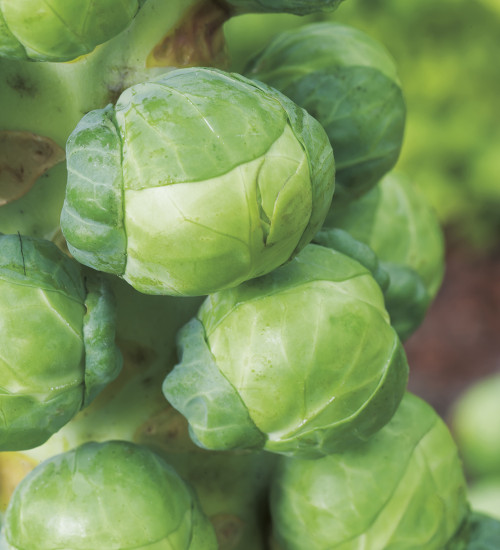 Brussels Sprout 'Igor' F1