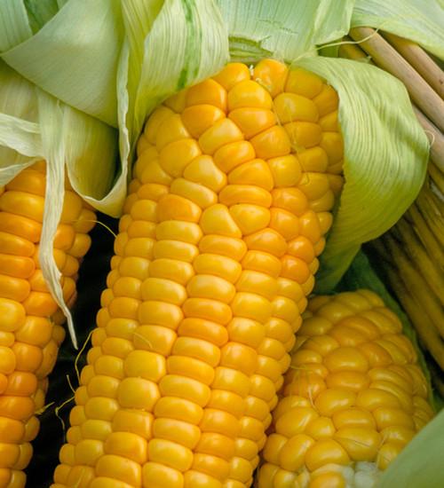 Sweetcorn 'Golden Bantam'