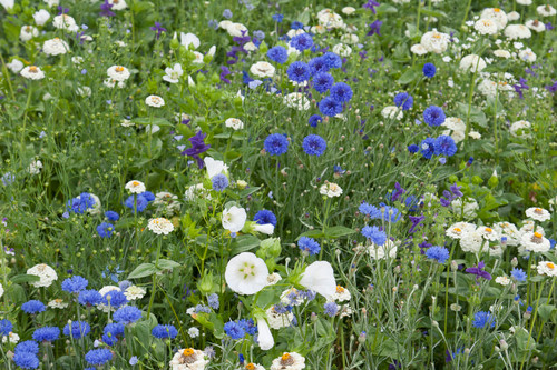 Delft Blue and White Meadow Mix